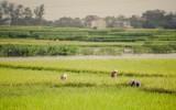 Người dân thu hoạch lúa trên cánh đồng vàng óng
